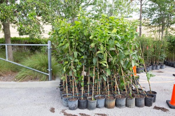 PSL Tree Challengee Giveaway photo showing trees given on Saturday May 18th, 2019